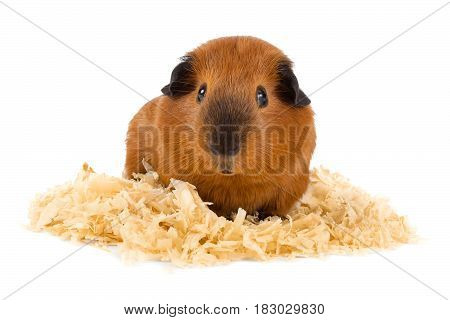 guinea pig sitting on sawdust on white background