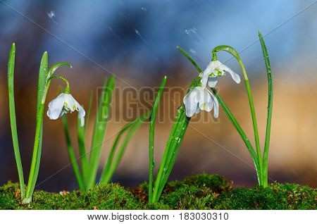 Snowdrops bloom in nature in the rain. Selective focus.