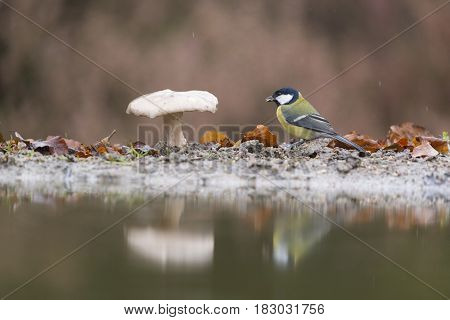 Great tit with mushroom in forest