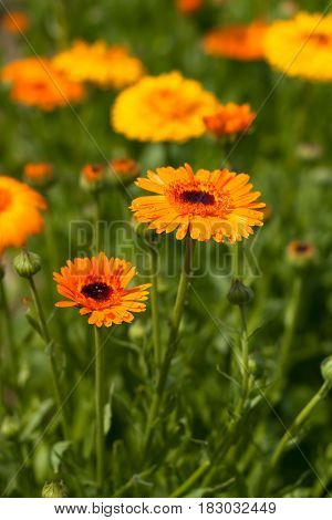 Calendula Officinal. Officinal Plant Flower Calendula Grow In Sunny Garden Top View.