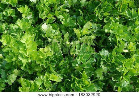 Celery Leaf Texture