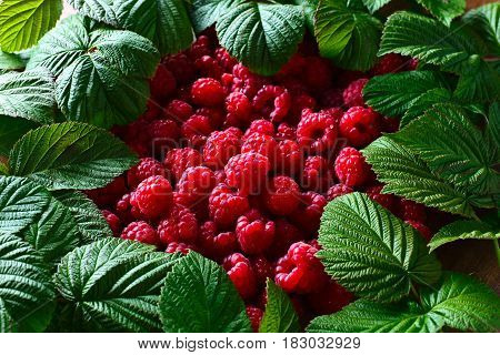ripe red raspberries and green leaves , selective focus