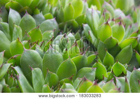 Close up of beautiful green Sempervivum calcareum - houseleek