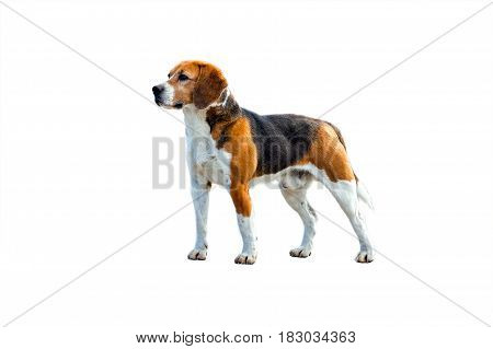 Dog beagle stands sideways to the camera on a white background. Side-view