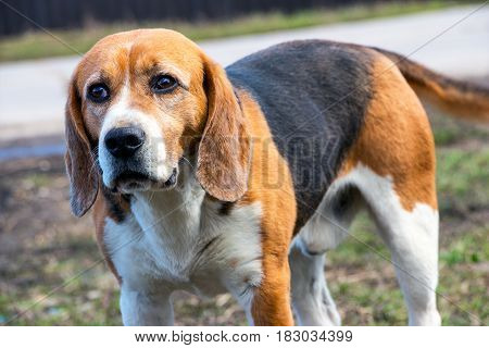 The dog's eyes Beagle. Anxious Look