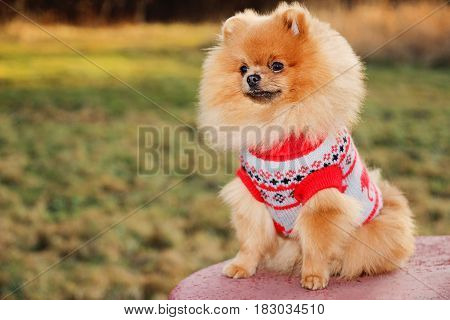 Sunny pomeranian dog. Beautiful dog. Pomeranian spitz