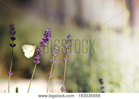 Closeup butterfly on lavanda flower, background, nature