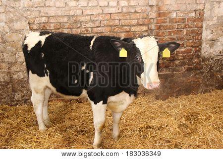 Dairy cow. Cows on farm. White calf