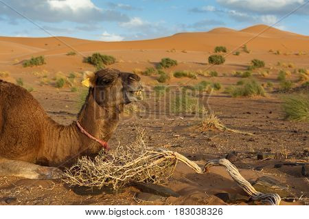 The camel lies on the sand against the background of sand dunes, Sahara desert