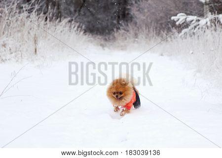 Running dog. Pomeranian dog in snow. Winter dog. Cute little spitz