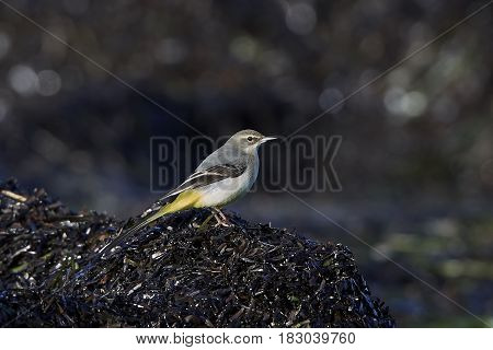 Grey wagtail sitting on the ground in its habitat