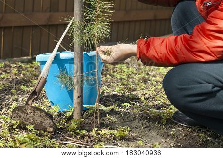 male hands next to young pine tree and garden tools outdoor cropped shot concept of nature care