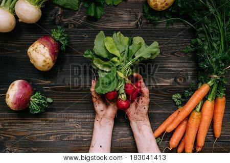 Organic Vegetables. Farmer's Hands Holding Harvested Radish On The Dark Wooden Background, Top View