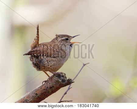 Singing Wren on top of a branch with blurred background