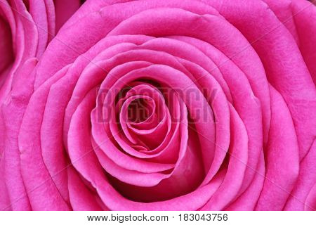 Close up detail of a pink rose