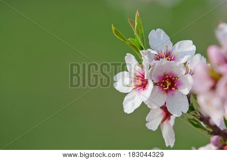 Almond Blossom, Blooming Almond Tree In March