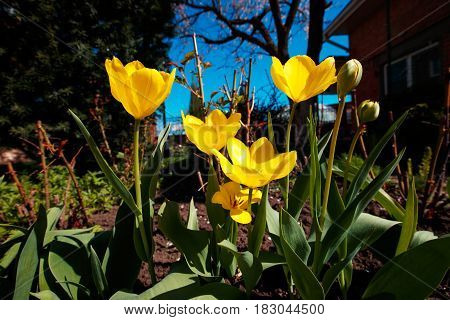Closeup wide angle photo of yellow tulips at garden, spring.