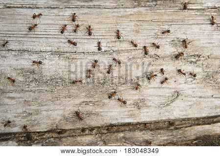 Ant (Formica rufa) also known as the Red Wood Ant Southern Wood ant or Horse Ant is a boreal member the photo ants on a log of wood as a background
