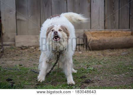 Evil domestic dog barks on chains. Pets