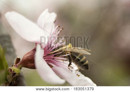 A bee collects pollen from a pink peach flower with a blurred background