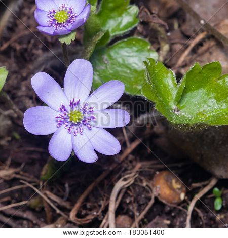 Hepatica nobilis liverleaf or liverwort flowers and leaves macro with soft edges selective focus shallow DOF.