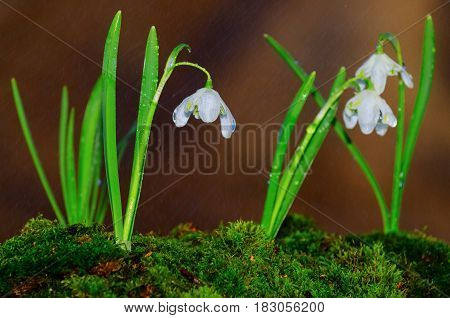 Snowdrops in bloom in the rain, brown earth background.Selective focus on single flower.