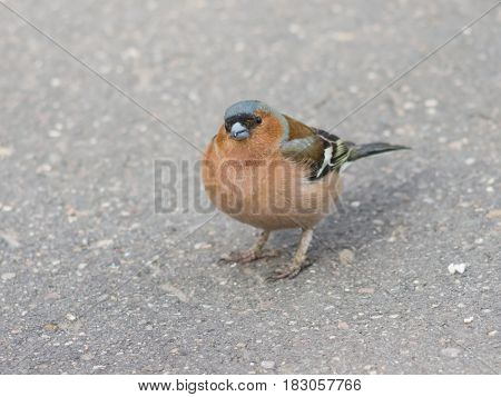 Male Common Chaffinch Fringilla coelebs asking for food close-up portrait on road selective focus shallow DOF.