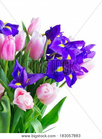 Bunch of blue irises and pik tulips flowers isolated on white background
