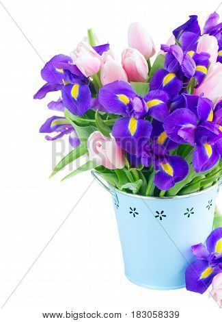 Blue irises and pik tulips in metal pot close up isolated on white background