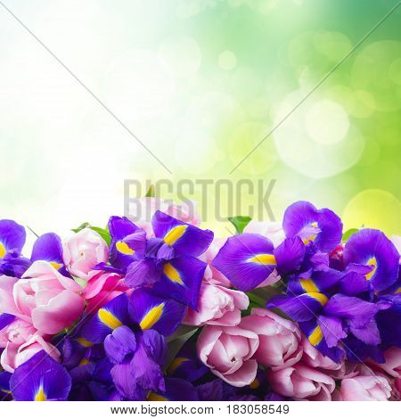 Bunch of blue irises and pik tulips border with copy space on green garden background