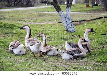 A flock of geese resting on the grass in a village in the spring.