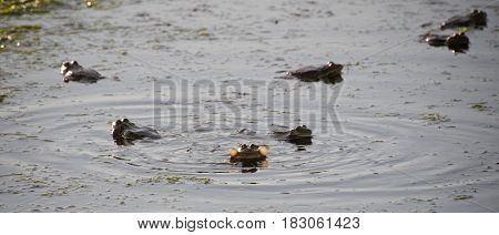Frogs croak in the evening in a marshy puddle