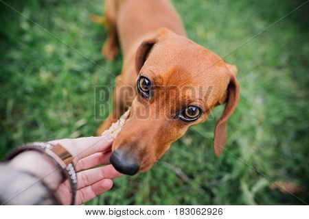 Dachshund Dog In Outdoor. Beautiful Dachshund Eating With Hands. Green Grass Background. Standard Sm