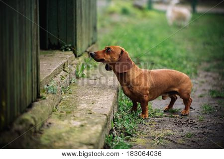 Dachshund Dog In Outdoor. Beautiful Dachshund Standing Near The House On The Green Grass. Standard S