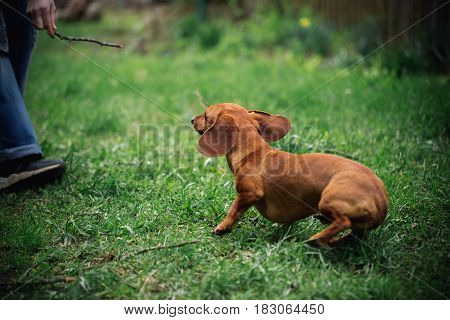 Dachshund Dog In Outdoor. Beautiful Dachshund Playing With Man On The Green Grass. Standard Smooth-h
