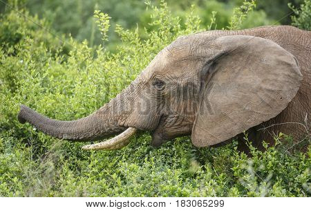 Large African Elephant with long trunk reaching for green leaves