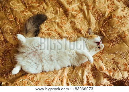 Ginger Threecolor Cat Is Lying On Bed And Washing. Warm Toning Image. Lifestyle Pet Concept.