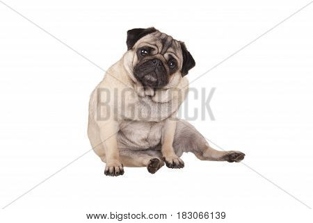 adorable cute pug puppy dog sitting down isolated on white background