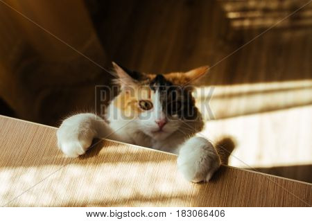 Ginger Three Color Cat Scrambles On Table. Focus On Soft Paws. Warm Toning Image. Lifestyle Pet Conc