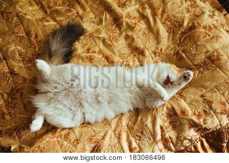 Ginger Ttree Color Cat Is Lying On Bed And Washing. Warm Toning Image. Lifestyle Pet Concept.