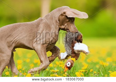 Weimaraner Puppy With A Pheasant Plushie