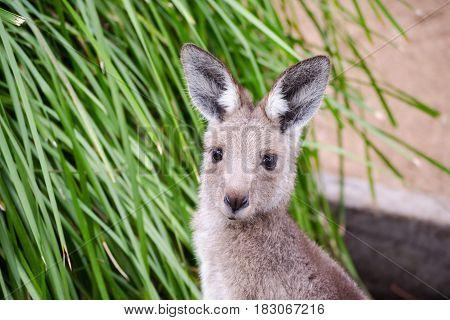 Kangaroo joey close up. Australian native animal