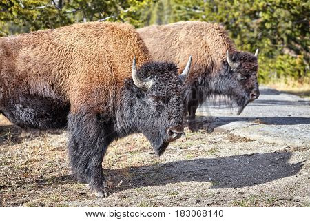 Two American Bison In Yellowstone National Park, Usa.