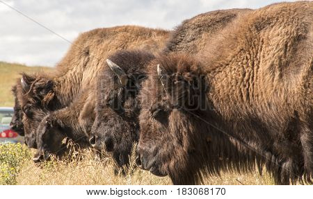 A herd of wild buffalo in Custer State Park South Dakota.
