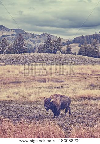 Vintage Toned Picture Of American Bison Grazing In Yellowstone National Park.