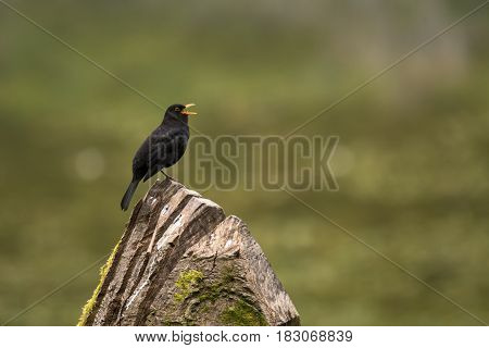 Blackbird (Turdus merula) male singing on tree. Male bird in family Turdidae singing from high position in the evening with beak open and tongue visible