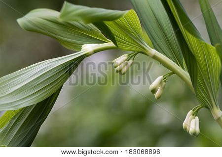 Solomon's seal (Polygonatum multiflorum) flowers. Plant in the family Asparagaceae aka David's harp or ladder-to-heaven growing in British woodland