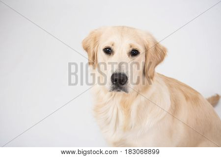 Closeup golden retriever isolated on white background in studio