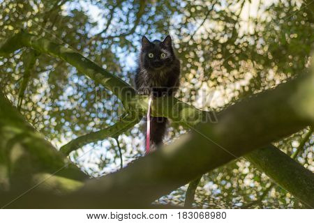 Black long-haired cat on leash climbing tree. Pet cat being taken for exercise on pink lead with bright yellow eyes