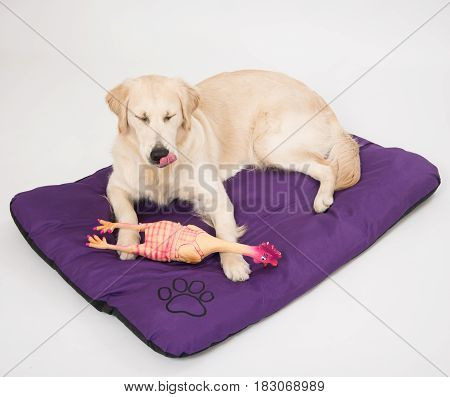 Happy and smiling Golden Retriever purebred dog laying on dog bed over white with chicken toy